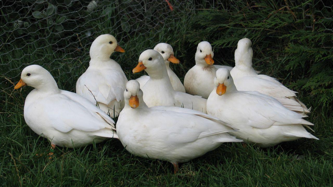 pair-of-white-call-ducks-51fe2b208153c.jpg
