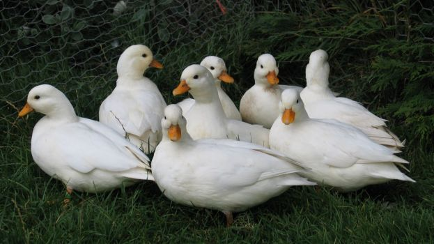 pair-of-white-call-ducks