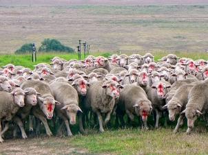 Flock Reds