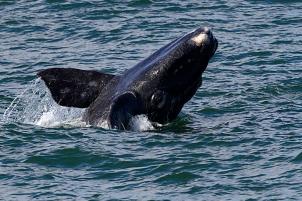 Noorkapper, suidelike (Whale, southern right), 140807 Sieverspunt 6451