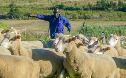 16 Sheep catching